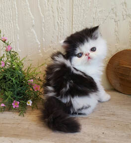 AVAILABLE PERSIAN KITTENS:
